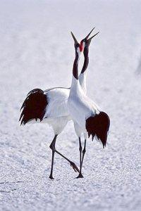 dance birds 2