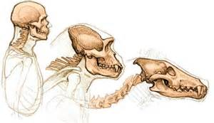 drawing for comparative anatomy
