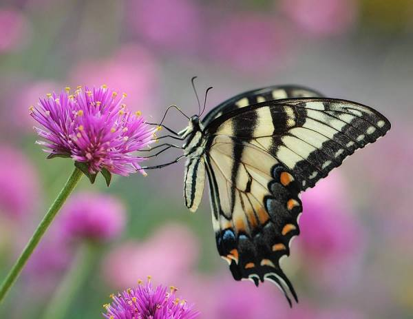 kathy:tiger swallowtail